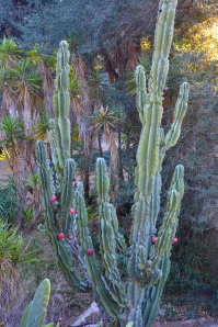 One of a half-dozen kinds, the prickly pear cactus grows 14-feet tall here.
