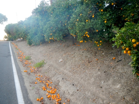 The orange groves are loaded with the current crop of fruit near our camp.
