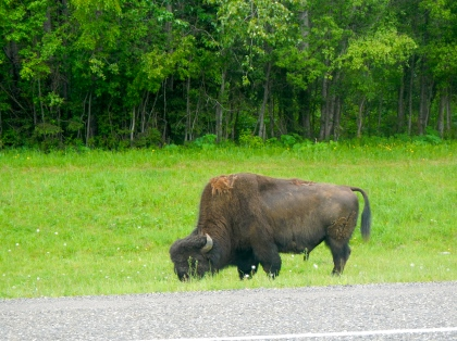 The biggest hazard on the Alaska Highway is the wildlife.  Moose, bears, bison and caribou are all large and will completely destroy your vehicle if you hit one.