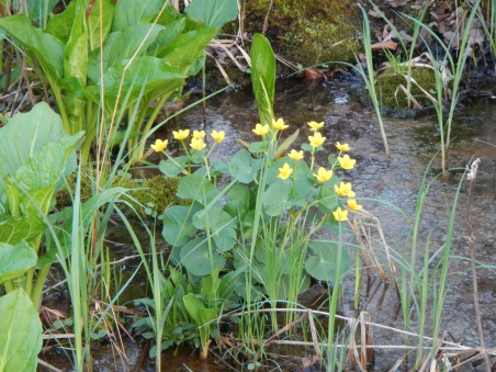 The marsh marigolds are in blossom in the neighboring wetlands.